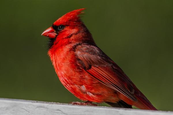 Cardinal Scene by ShotfromaCanon