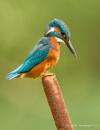 Male Kingfisher on Bulrush by pdsdigital
