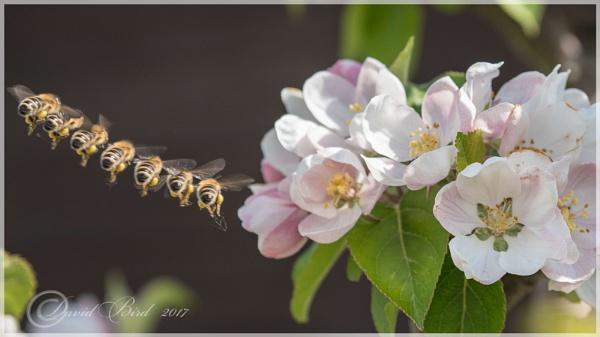 Bee\'s flight to blossom. by DavidBird