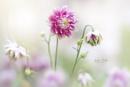 Aquilegia vulgaris var. stellata 'Nora Barlow' by jackyp