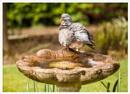 Wood Pigeon by DalesLass