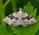 Silver-ground Carpet moth by georgiepoolie