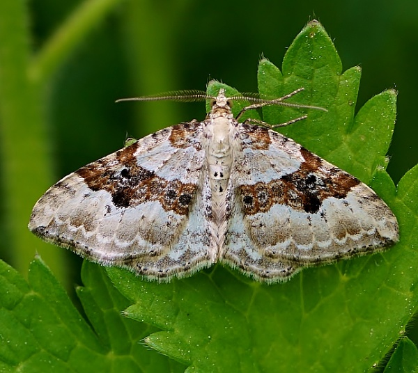 Silver-ground Carpet moth by georgiepoolie