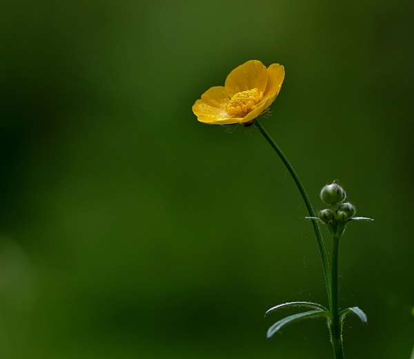 Buttercup by georgiepoolie