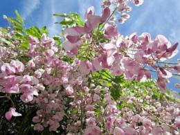 Pretty pink wisteria