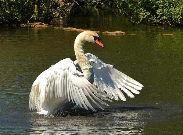 Swan by nealie