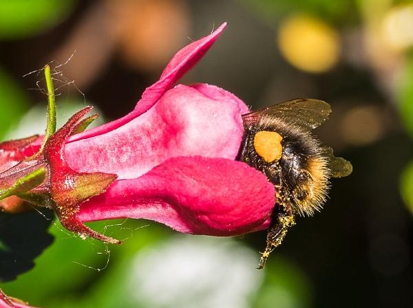Bumblebee bum by gouldii