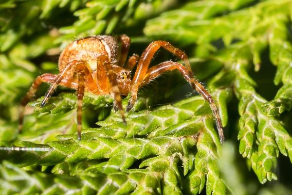 Garden spider by gouldii