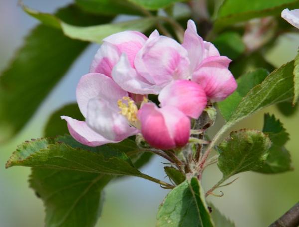 Wild  Apple by tonyguitar