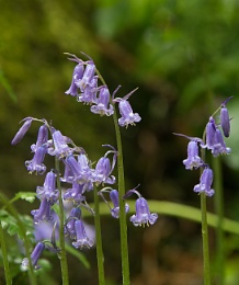 Bluebells In The Rain