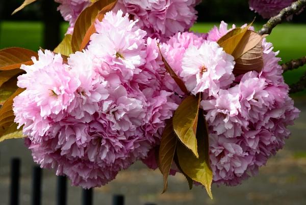 Blossom by Nikonuser1