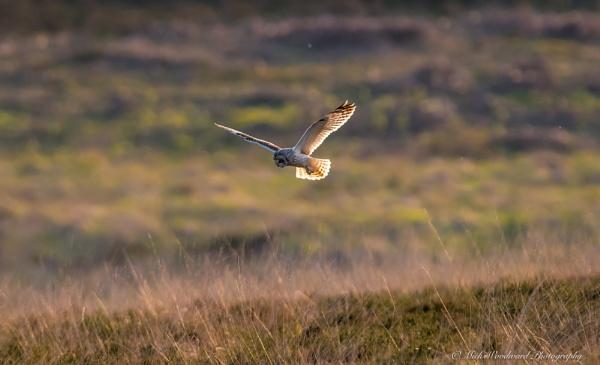 Short Eared Owl by kojak