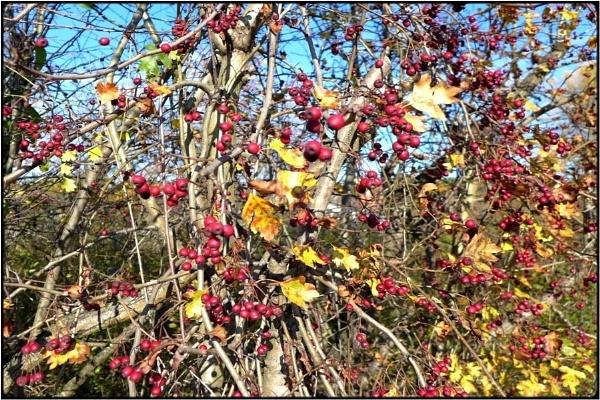 redberry bush by FabioKeiner