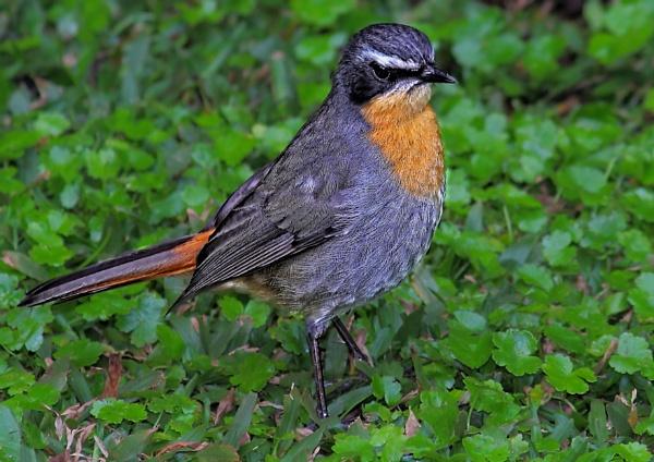 Cape Robin by johnke