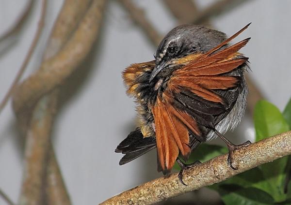Garden Cape Robin by johnke