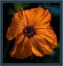 orange poppy by estonian