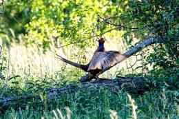 Pheasant on the courtship