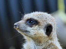 Meerkat's.