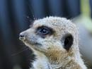 Meerkat's. by brandish