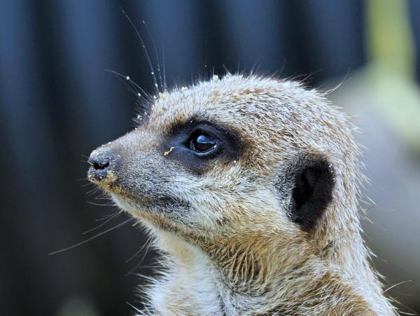 Meerkat\'s. by brandish