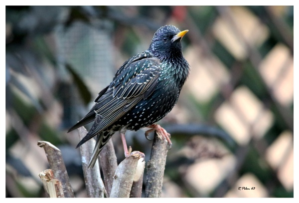 Starling by RPilon63