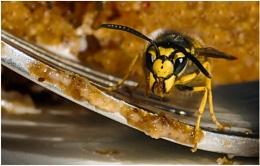 Wandering Wasp
