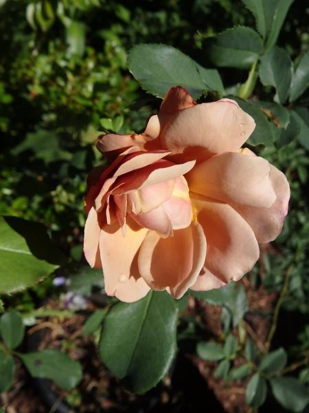 Soul Sister Rose by artgaz1062
