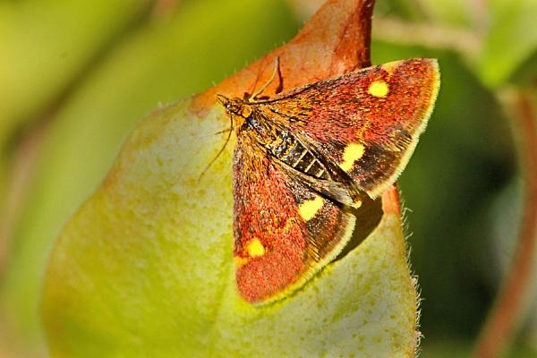 Mint Moth--Pyrausta aurata by bobpaige1