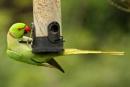 Ring-necked Parakeet--Psittacula krameri by bobpaige1