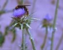 Mammoth, Giant solitary wasp (Megascolia maculata maculata)