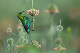 Is it a sinbird or hummingbird?