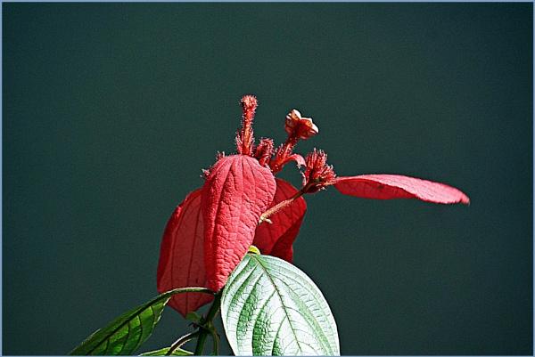 *** Poinsettia *** by Spkr51