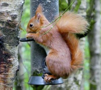 Red Squirrel on the bird feeder in Threave Gardens