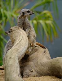 Photo : Meerkat 1