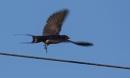 Swallow in Flight :-) by SocksAndStuff