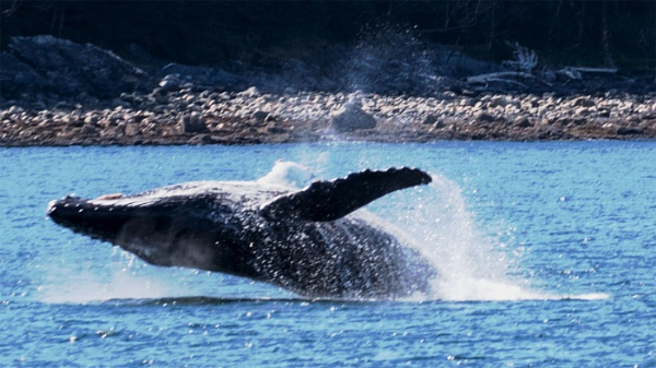 Humpback Whale Breaching by Janetdinah