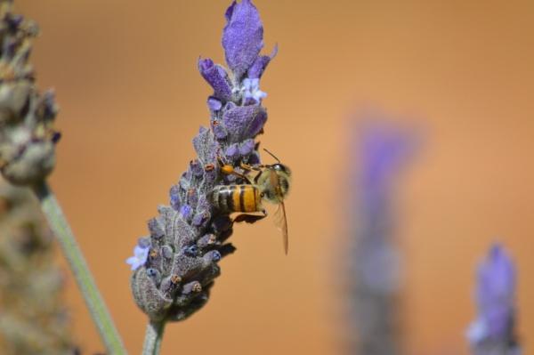 Bee. by Pieterjt007