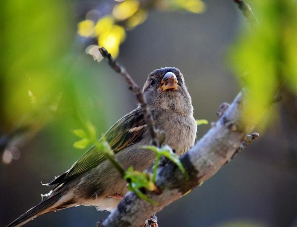 Little Sparrow by Heykat