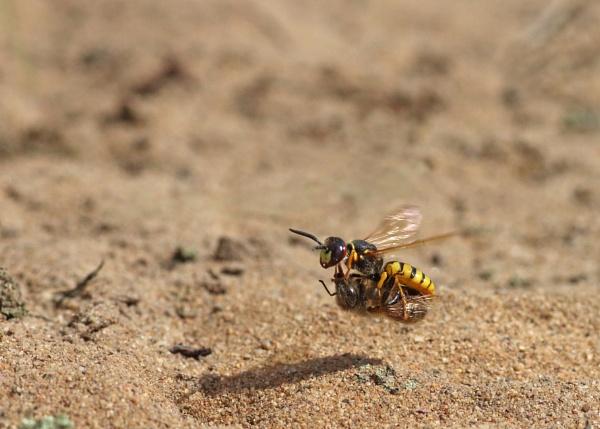 Bee Wolf Clasp of Death! by Waylander5