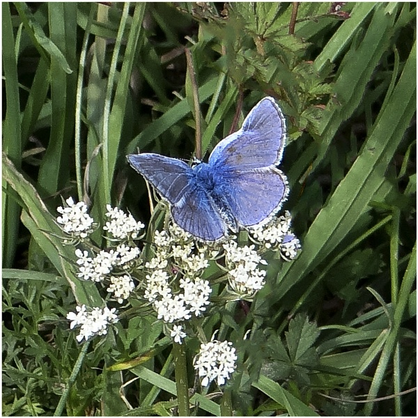 Common Blue by dven