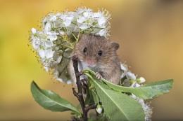 Blossom Mouse