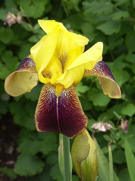 Iris by frenchie44