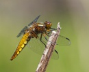 BROAD BODIED CHASER by ringyneck