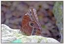 Caligo  --Butterfly by Maiwand