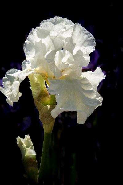 Bearded Iris by Granddad