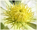 White Clematis by Sylviwhalley