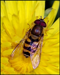 """""""Hoverfly""""."""
