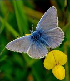 Common Blue-Polyommatus icarus.