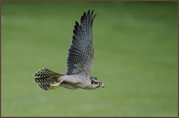 Falcon in flight by ugly