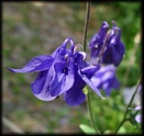 Columbine by HobbitDave